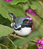 Black-throated blue warbler with beautyberry.
