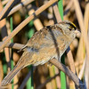 GOLDEN CROWNED SPARROW  294020215