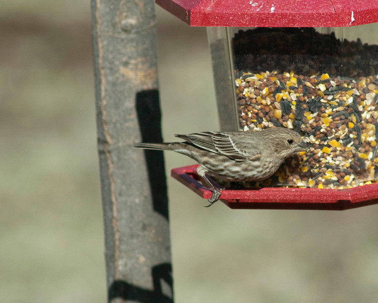 House Finch, female.