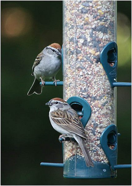 Chipping Sparrows - Two for Lunch (113844366)