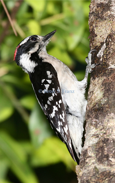 Downy woodpecker, Melbourne, Florida.