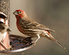 House Finch, male.