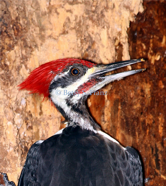"Pileated ""Woody"" Woodpecker"