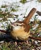 Carolina Wren has a lot to say today