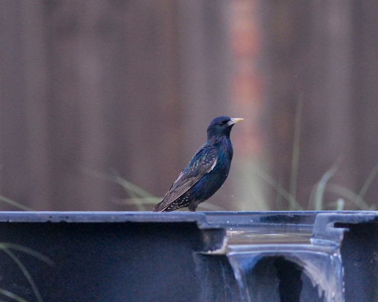 A Starling at the bath. (1 of 3)