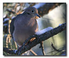 Mourning Dove (56661500)