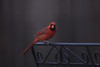 Male Cardinal. (1 of 2)