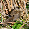GOLDEN CROWNED SPARROW  296020215