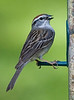 Chipping Sparrow (113380815)