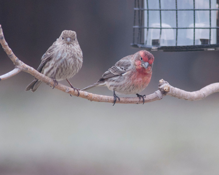 Female and male House Finch.