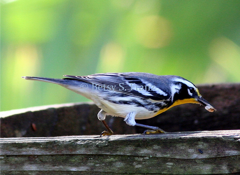 Yellow-throated warbler on feeder.