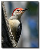 Red Bellied Woodpecker male (58094015)