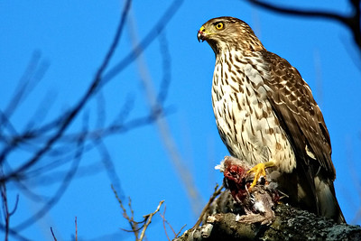 Cooper's Hawk with Eurasian-collared dove
