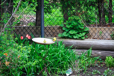 Goldfinches In The Birdbath