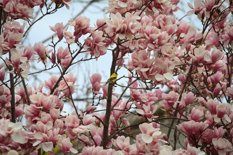 Male Goldfinch In The Magnolia