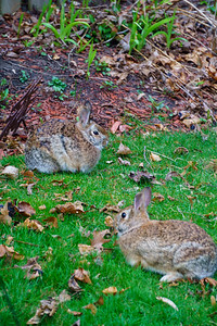 Backyard Bunnyies