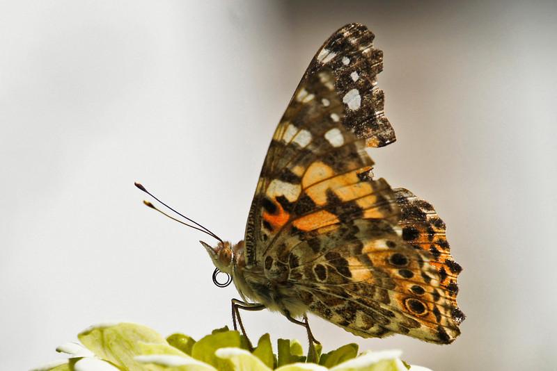butterfly-304sm
