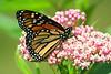 Monarch-102