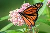 Monarch-103