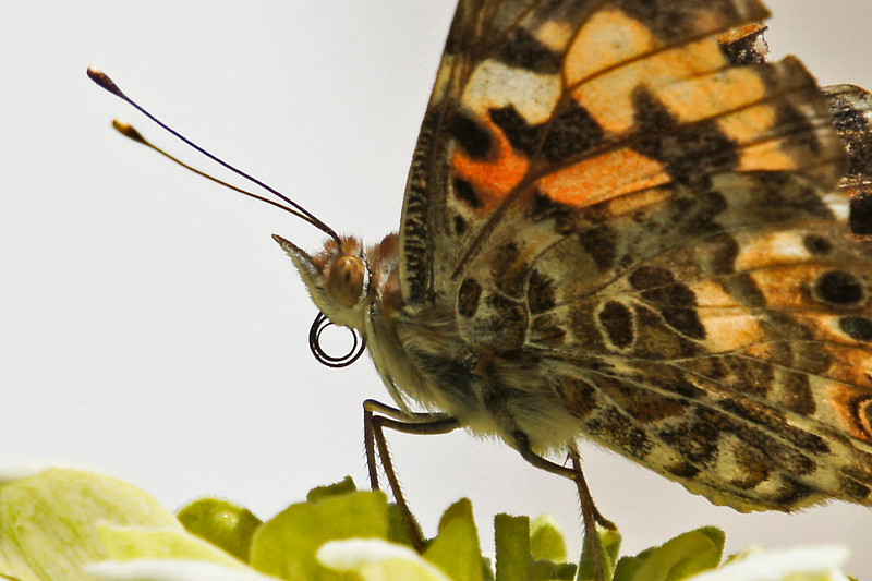 butterfly-305sm