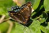 butterflys-104