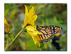 Monarch Butterfly (86854790)