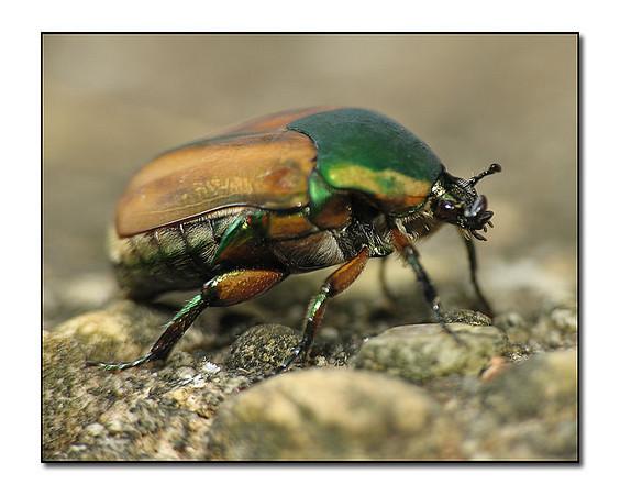 Green June Bug (82891966)