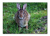 Cotton Tail Rabbit (79591638)
