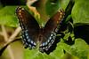 butterflys-102