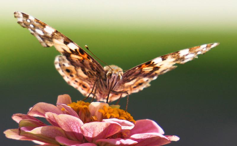 butterfly-306sm