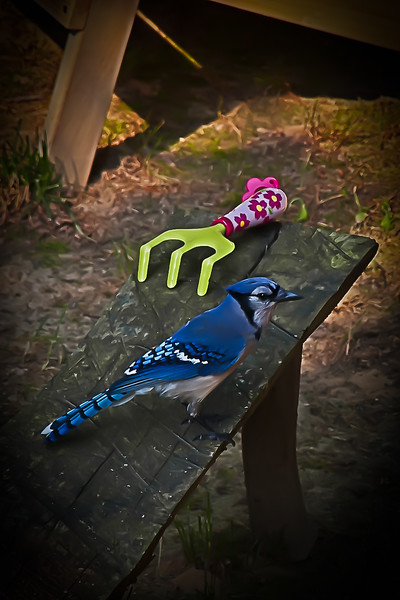 Blue Jay on Bench