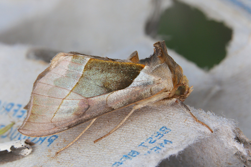 Green-patched Looper (Hologram Moth), Diachrysia balluca