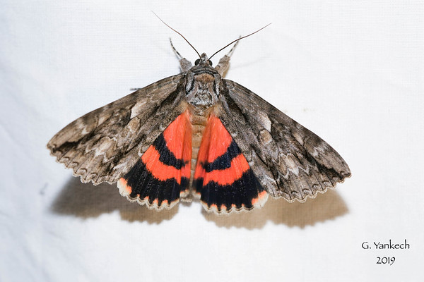 Mother Underwing, Catocala parta