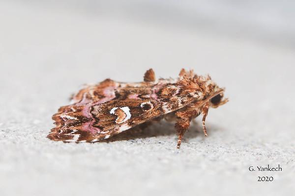 Pink-shaded Fern Moth, Callopistria mollissima