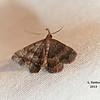 Black-banded Owlet, Phalaenostola larentioides<br /> <br /> Identification confirmed (BAMONA)