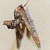 Dark Marathyssa, Marathyssa inficita