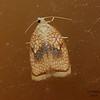 Maple Leaftlier Moth (Hairnet Acleris), Acerlis forskaleana