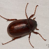 May Beetle (Phyllophaga), species undetermined