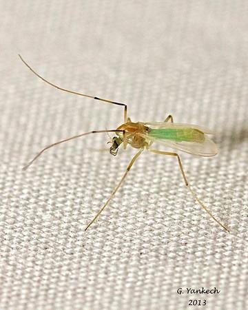 Undetermined Midge Fly