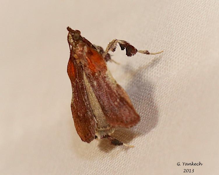 Boxwood Leaftier, Galasa nigrinodis