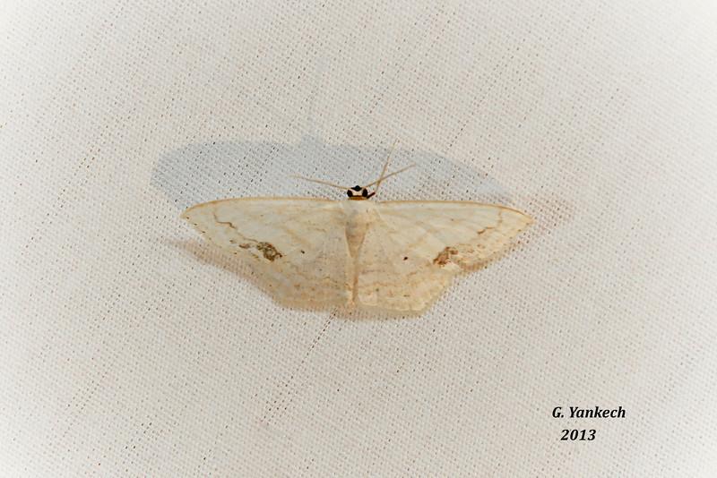 Large Lace-border, Scopula limboundata