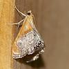 Sooty-winged Chalcoela, Chalcoela iphitalis