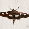 "Desmia maculalis/funeralis<br /> <br /> Distinuguishing between D. maculalis and D. funeralis  requires:<br /> <br /> 1. a dorsal photo that clearly shows the antennae or the spot on the hindwing so the moth can be sexed.<br /> <br /> 2. a ventral photo clearly showing the markings on the abdomen. The moth does not have to be killed or chilled to get a photo of the underside. A jar with flat sides works great for this purpose and also makes it easy to get accurate measurements. <br /> 3. an accurate measurement of the wingspan. <br /> <br /> D. funeralis individuals have a solid white patch on the underside of the abdomen <br /> D. maculalis individuals have a broken white patch, where about 1/2 of segments 3 and 4 are clearly dark. Basically, maculalis looks striped on the underside, whereas funeralis looks like it is basically solid white<br /> <br /> see Identification... <a href=""http://bugguide.net/node/view/49556"">http://bugguide.net/node/view/49556</a>"