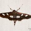 Genus Desmia<br /> <br /> likely Desmia maculalis/funeralis