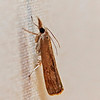 Undetermined Grass-veener Moth<br /> species identification pending