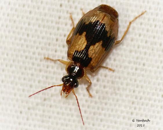 Colouful Foliage Ground beetle, Lebia fuscata