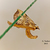 Grapevine Looper Moth, species undetermined