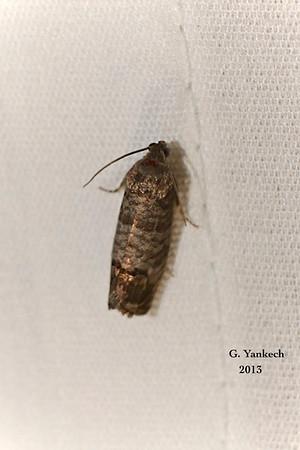 Codling Moth, Cydia pomonella <br /> <br /> Identification confirmed by BAMONA
