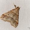 Dark-Banded Owlet Moth, Phalaenophana pyramusalis