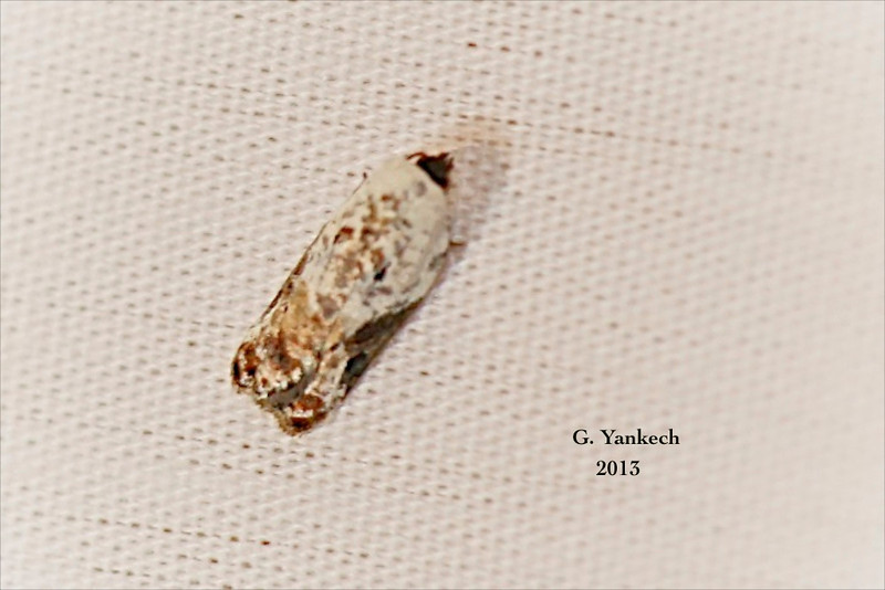 Snowy-shouldered Acleris, Acleris nivisellana